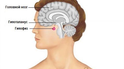 Местоположение гипофиза в головном мозге